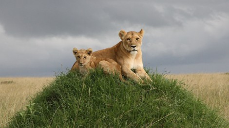 outcast-lion-and-cub